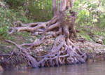 sycamore tree roots picture