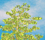 sycamore tree picture