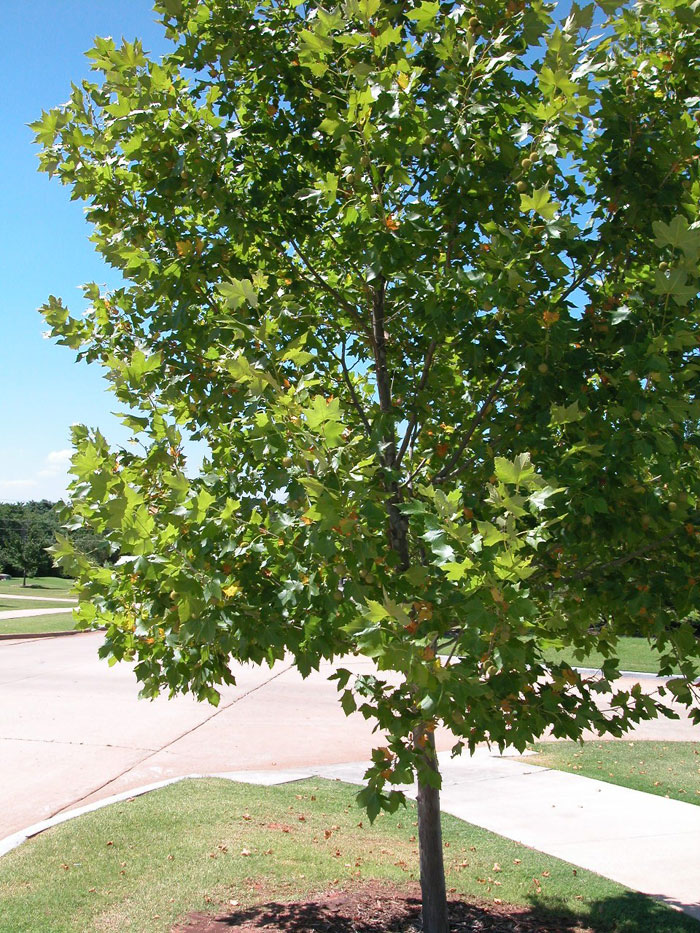 sycamore tree scientific name platanus sycamore tree types different