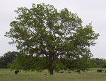 البقان شجرة صور