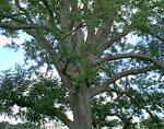 pecan albero foto