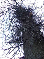 Honey Tree Locust com espinhos