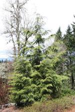 杉の木の絵