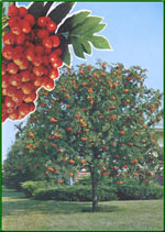 mountain ash tree picture