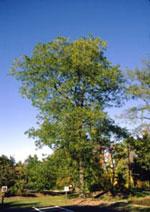 Große Honig Locust Tree