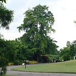 ginkgo image de l'arbre de biloba