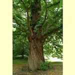 imagem da árvore de castanha