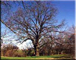 foto del árbol de pacana