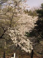árvore de cereja de florescência