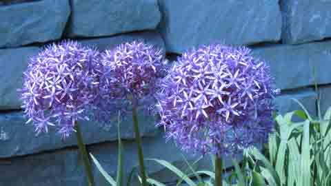 Allium Plant: Purple Onion Flowers