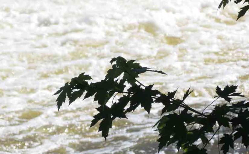 Maple Tree Silver