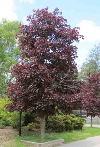Crimson Maple Tree