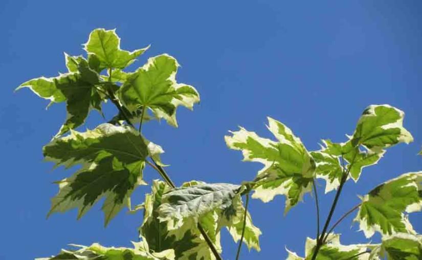 Harlequin Maple Tree Leaves