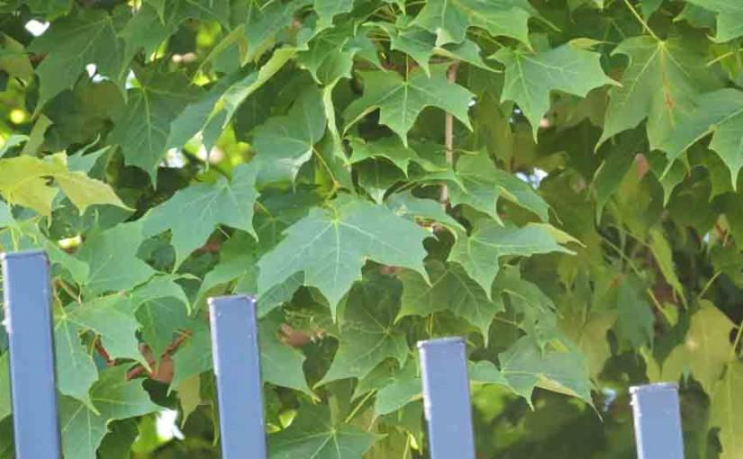 Lønnetrær Leaves