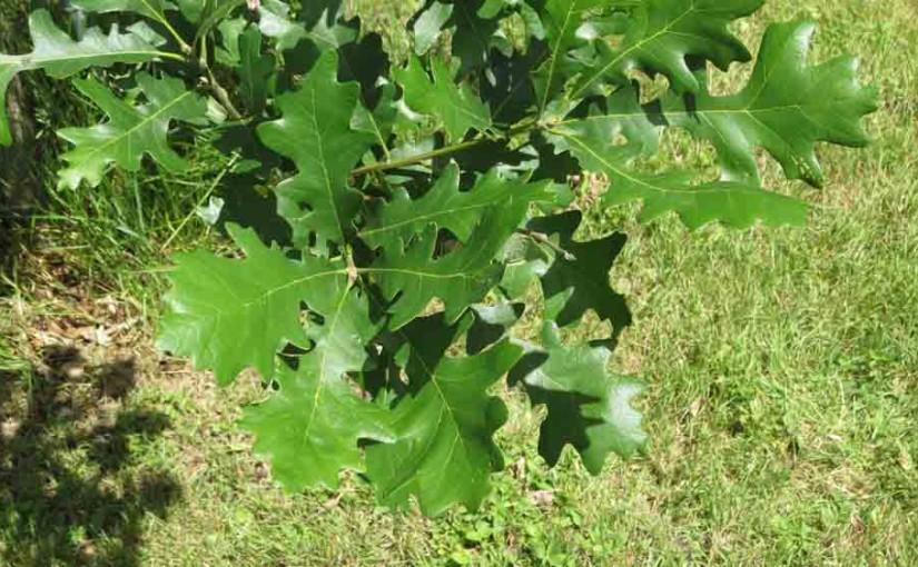 Schuette بلوط برگ درخت