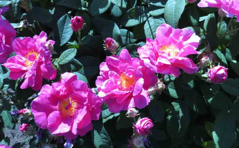 شجيرة الورد