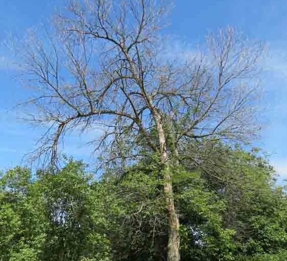 المريضة الرماد شجرة الحفار الرماد الزمرد