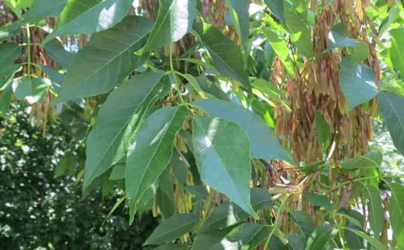 بذور شجرة الرماد