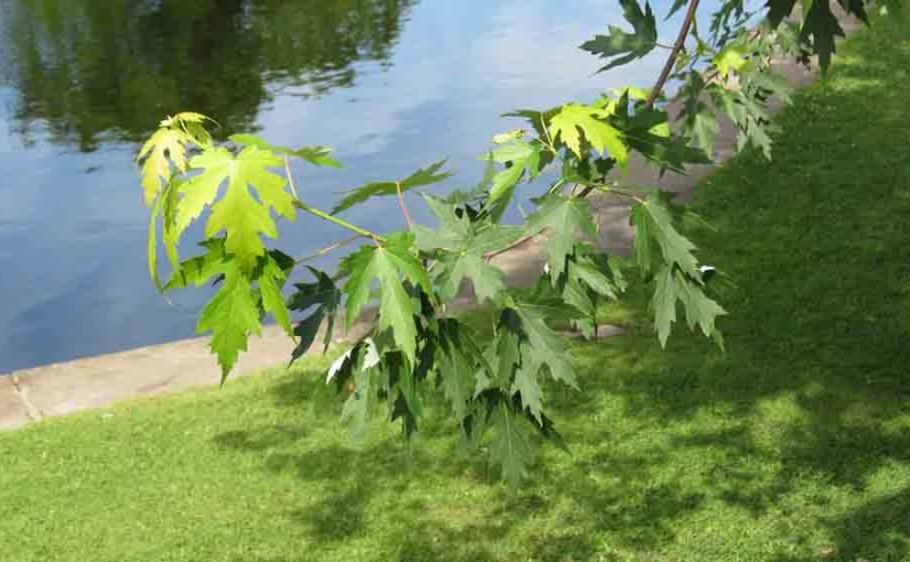 Maple Tree Type, Silver