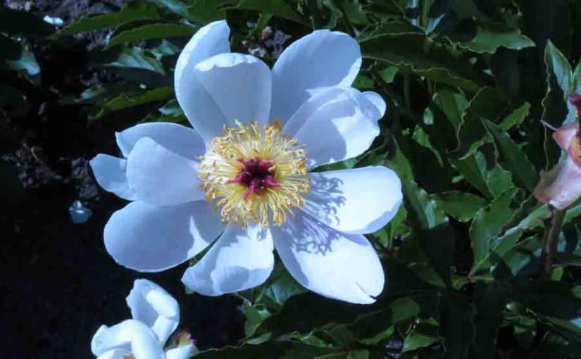 Peon blomst-Amberglow