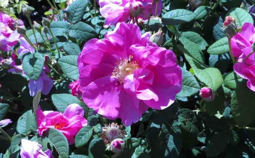 Arbuste Rose