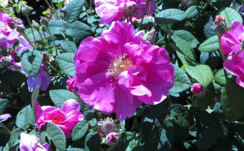 busk Rose