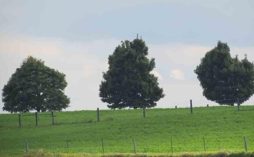 3 القيقب الأشجار