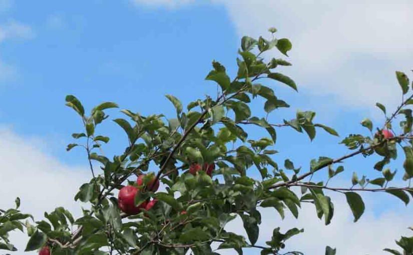 Epler i Apple Tree