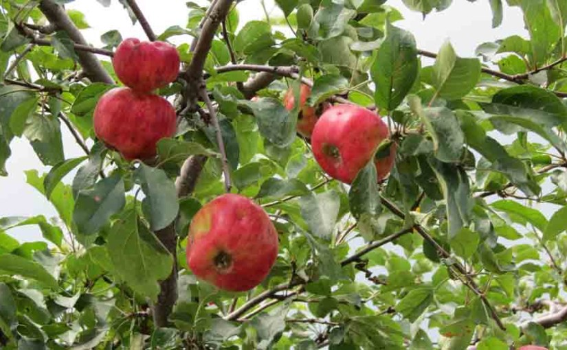 Manzanas rojas de Apple Tree