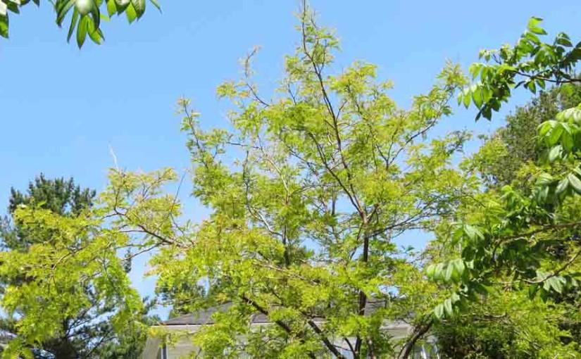 Svart Locust treet