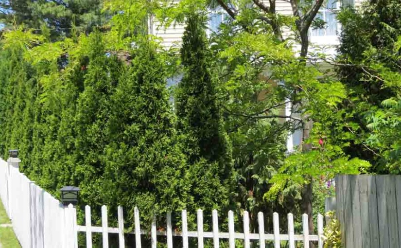 Los árboles de cedro