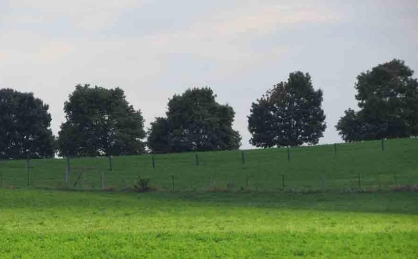 30 سنة قديم أشجار القيقب