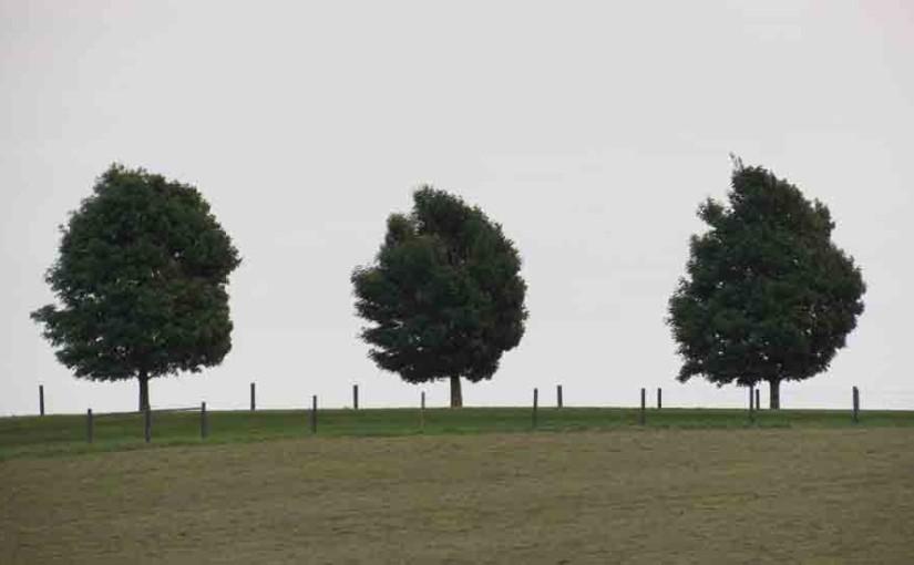 3 Maple Trees