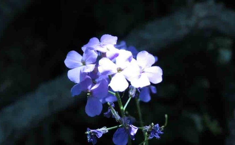 Phlox púrpura de las flores