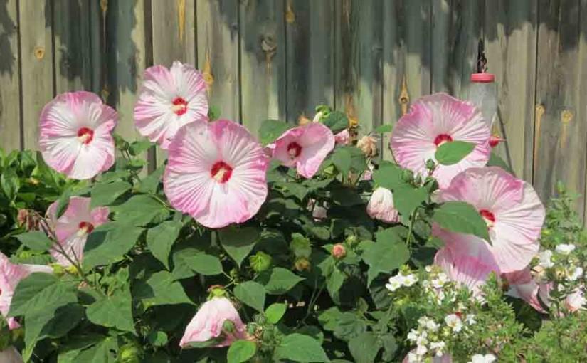 Rose of Sharon Shrub-Pink