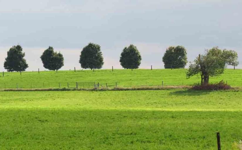 أشجار القيقب