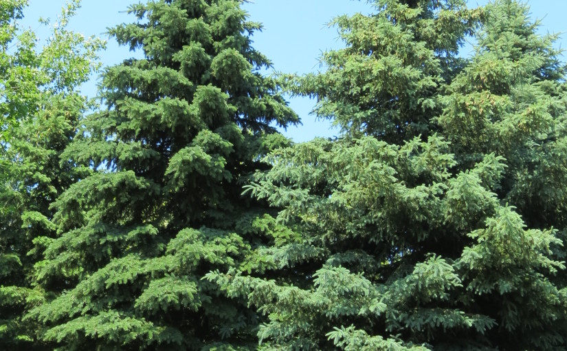 Gwyn Spruce Coed