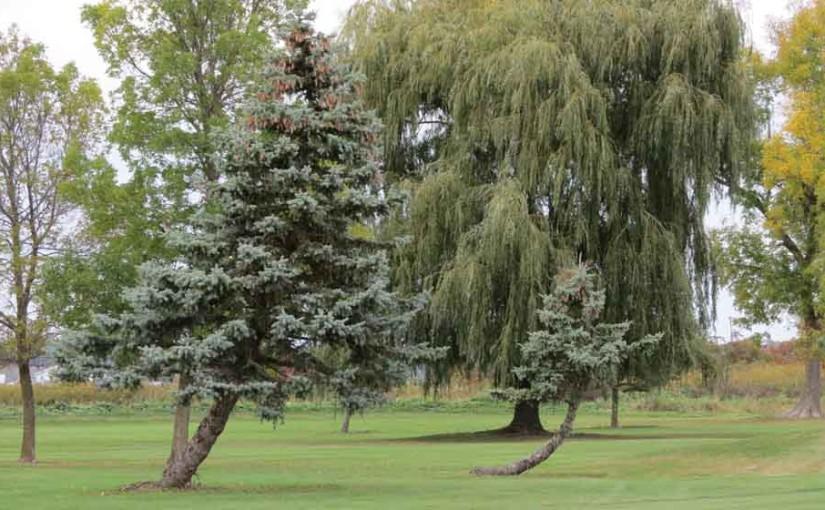 2 شجرة التنوب الأشجار