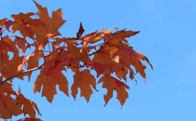 الخريف شجرة القيقب