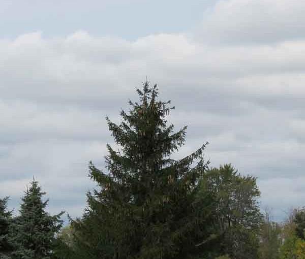 Math Spruce Tree Norwy