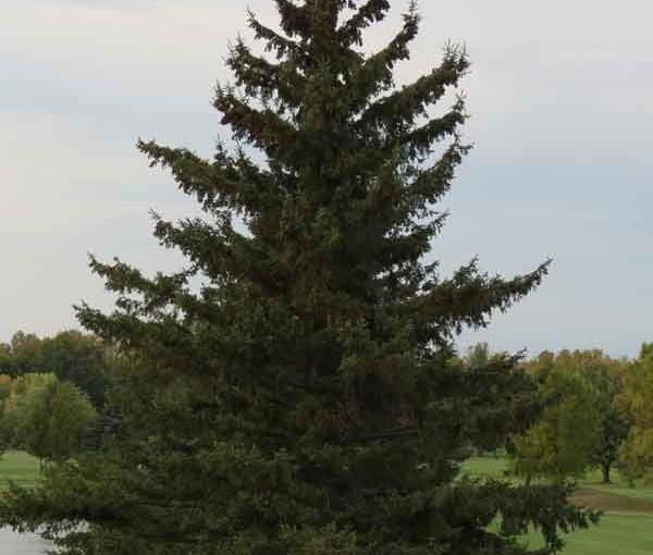Type d'arbre épinette blanche