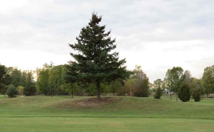 شجرة التنوب شجرة