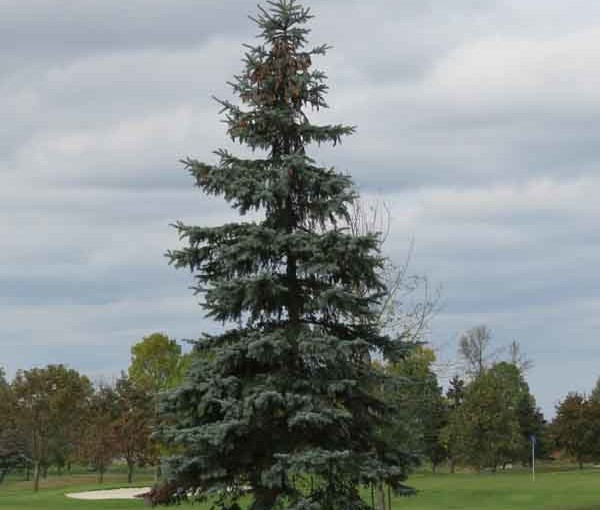 الأزرق شجرة التنوب شجرة نوع