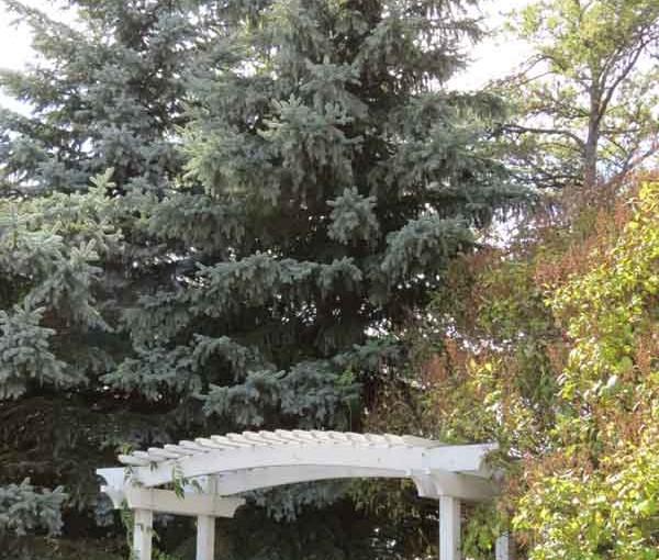شجرة التنوب شجرة المناظر الطبيعية