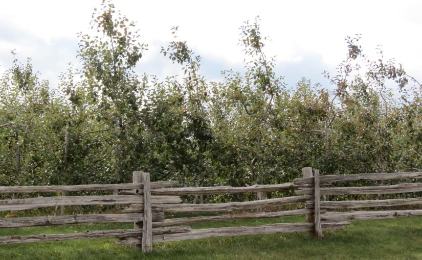 Tree Orchard Apple