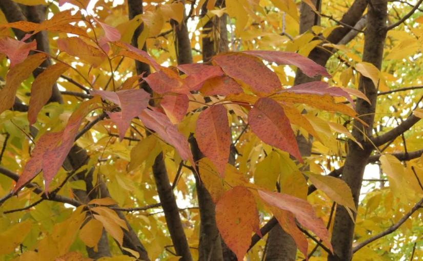أوراق شجرة الرماد