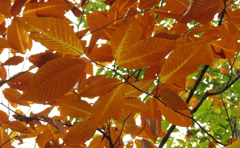الزان شجرة ورقة الأمريكية