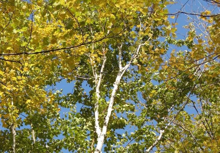 Bjørketre om høsten
