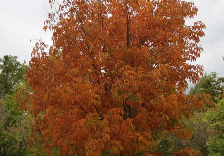 شجرة الكستناء الخريف