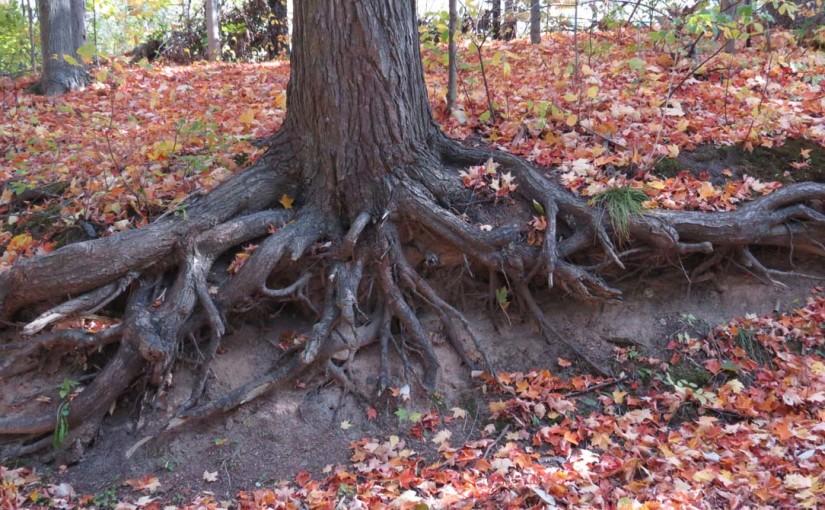 جذور شجرة الشوكران الشرقية
